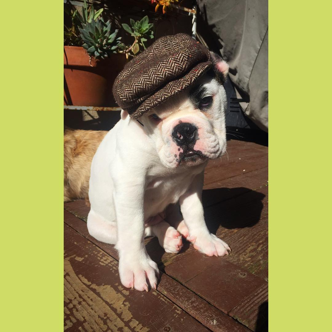 <div class='meta'><div class='origin-logo' data-origin='none'></div><span class='caption-text' data-credit='Photo submitted to KGO-TV by @bulldogbradshaw/Instagram'>Bulldog Bradshaw wears a little hat in this undated image.</span></div>