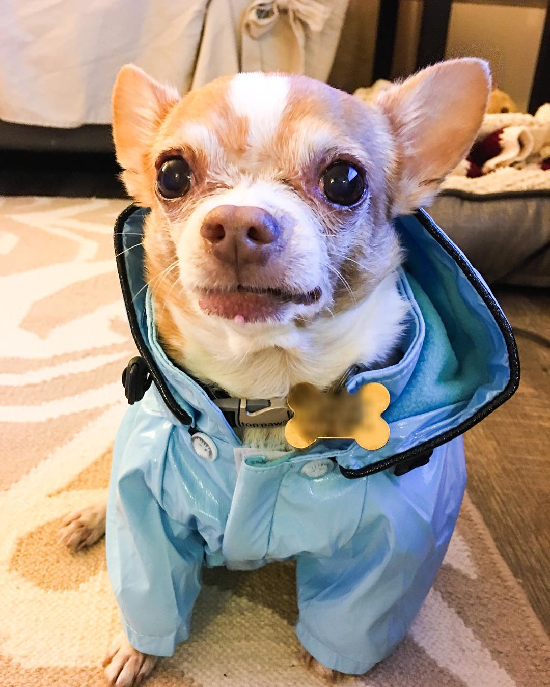 "<div class=""meta image-caption""><div class=""origin-logo origin-image none""><span>none</span></div><span class=""caption-text"">A dog wears a little raincoat in this undated image. (Photo submitted to KGO-TV by @portiaandpumapups/Instagram)</span></div>"