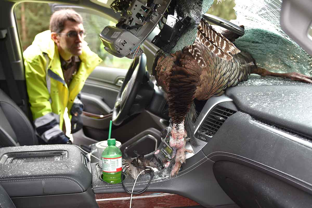 Man describes terrifying crash with 30 lb wild turkey in for Abc motor credit gilchrist rd