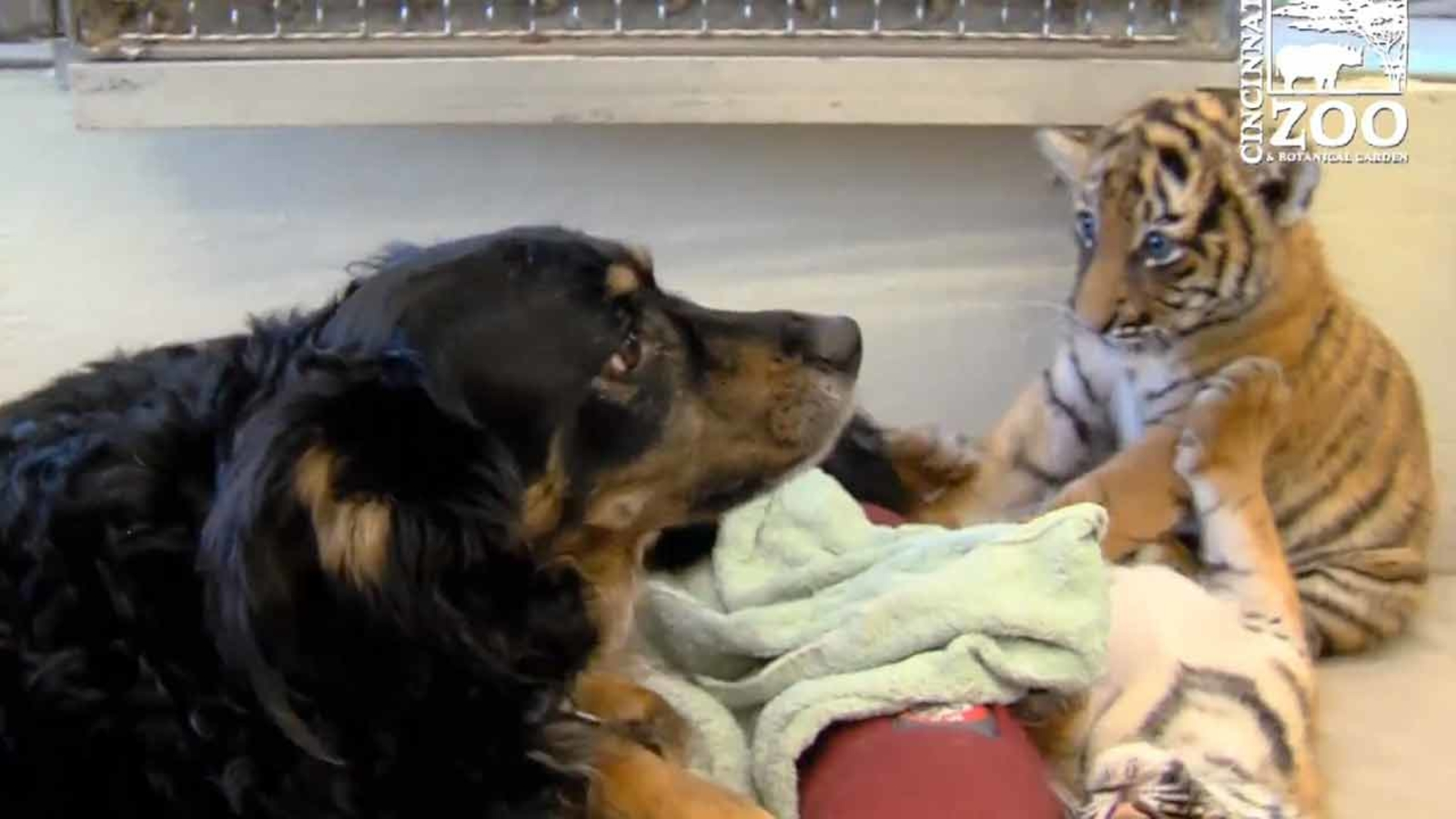 Nanny dog watches over cubs at Cincinnati Zoo - ABC13 Houston