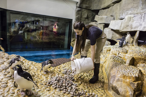 <div class='meta'><div class='origin-logo' data-origin='none'></div><span class='caption-text' data-credit='Shedd Aquarium/Brenna Hernandez'>As mating season begins at Shedd, sticks and rocks are provided to the<br>rockhopper and Magellanic penguins to start the process of nest building</span></div>