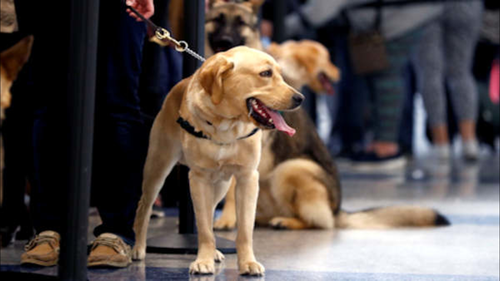 Newark Airport Goes To The Dogs Hosting Guide Dog