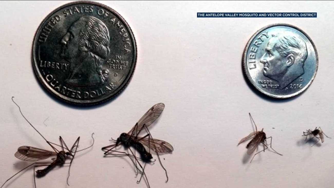 Have you seen more of those giant mosquitoes buzzing around lately? Officials say the big insects are on the rise - but they're not mosquitoes.