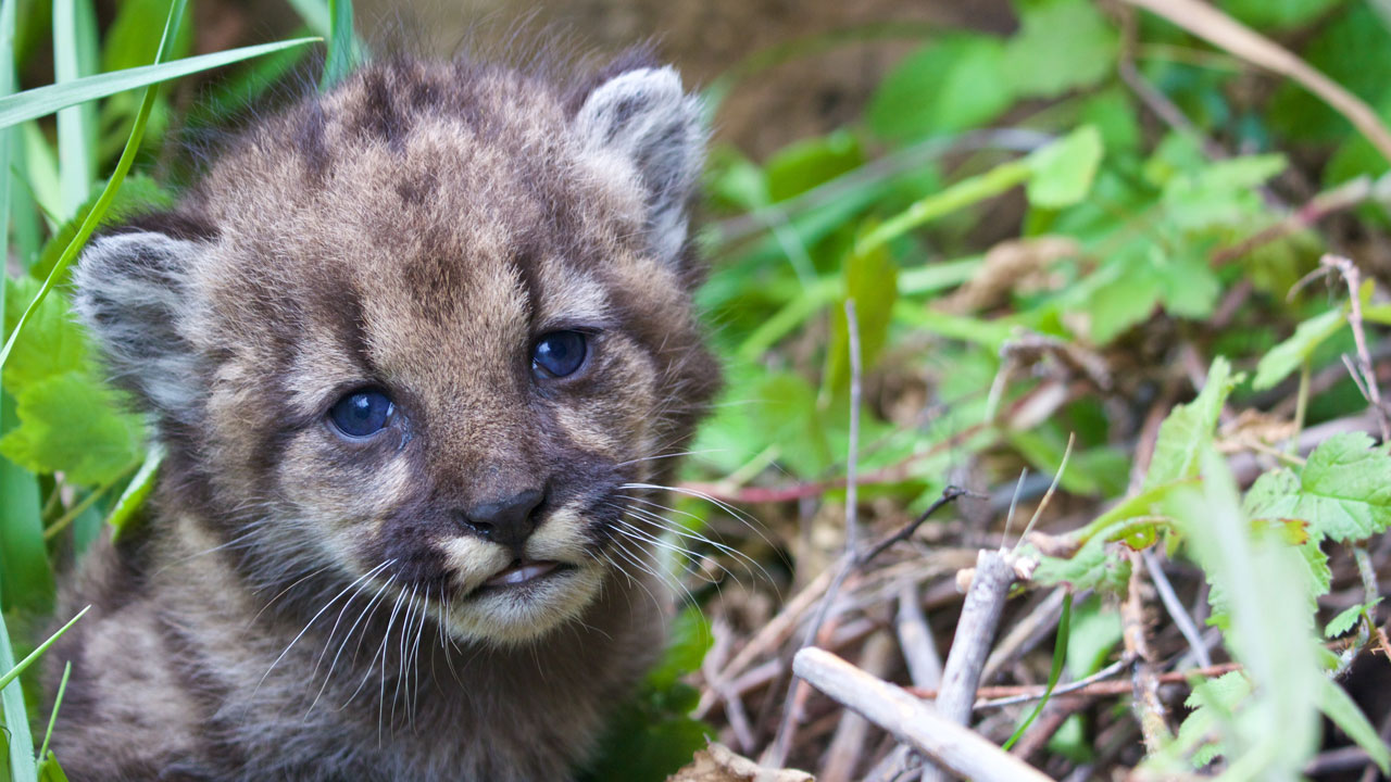 P-54, a four-week-old female mountain lion cub, is shown in a photo provided by the National Park Service.