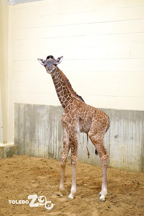 toledo zoo welcomes newborn giraffe kipenzi