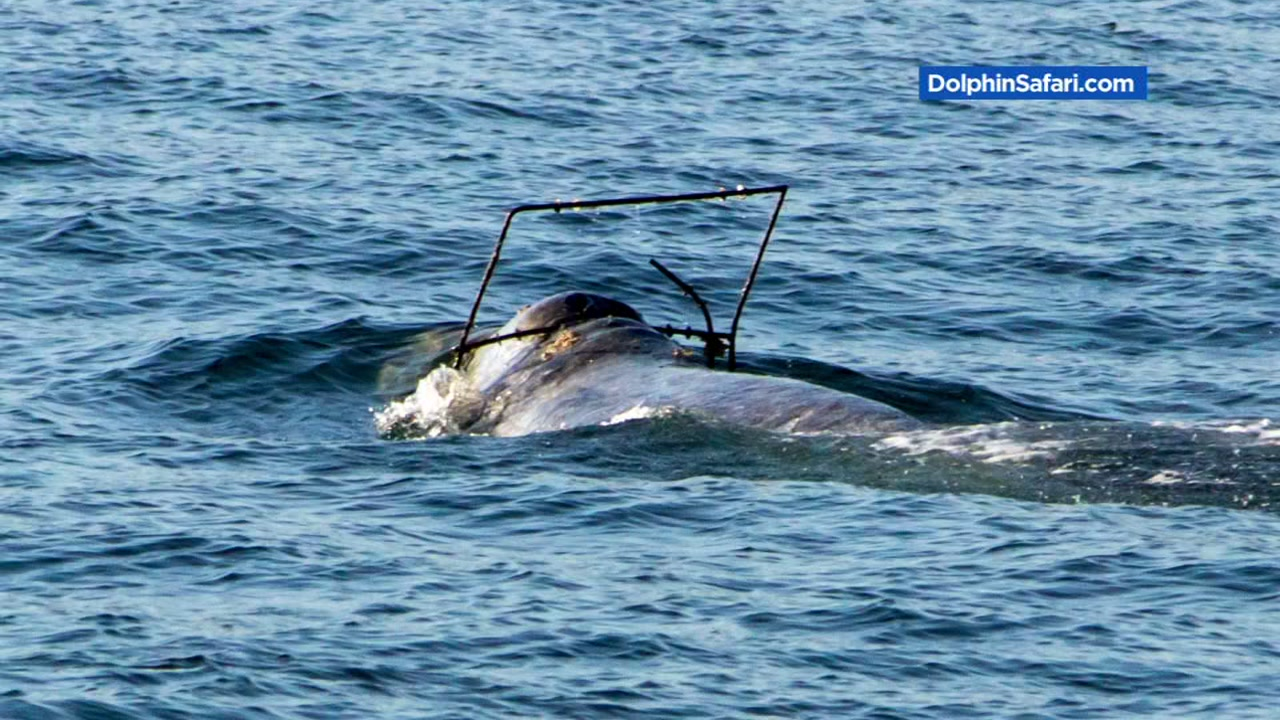 This is an undated image of an injured whale that could make its way to the Bay Area by April 8, 2017.