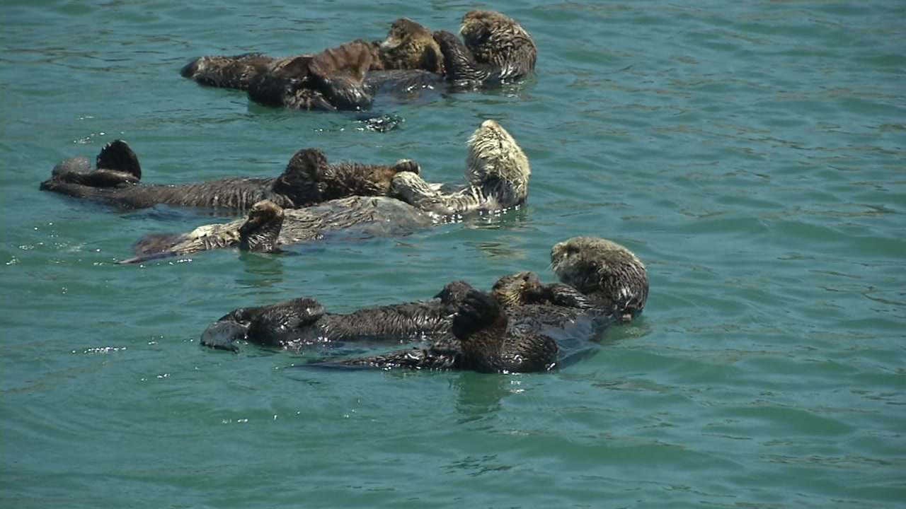 Image of: California Sea Otter Population Showing Signs Of Recovery Abc7 News California Sea Otter Population Showing Signs Of Recovery After
