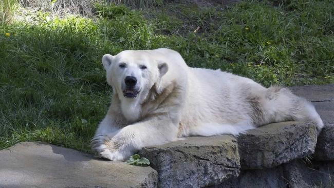 IN MEMORIAM: San Francisco Zoo's beloved polar bear dies at