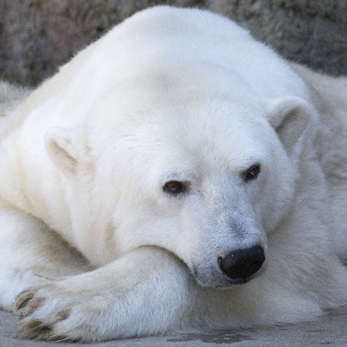 <div class='meta'><div class='origin-logo' data-origin='none'></div><span class='caption-text' data-credit='Photo by Marianne Hale'>Uulu the polar bear lounges around in her exhibit at the San Francisco Zoo.</span></div>