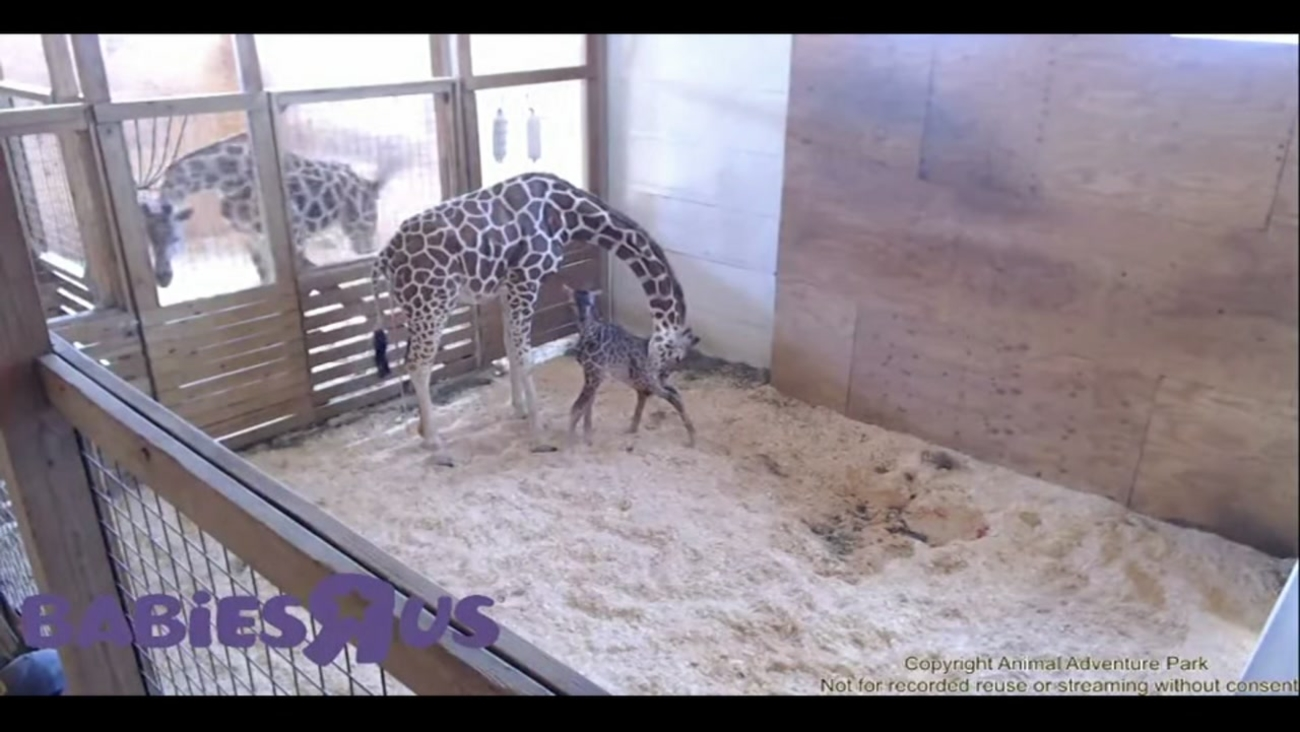 April the Giraffe gives birth to calf