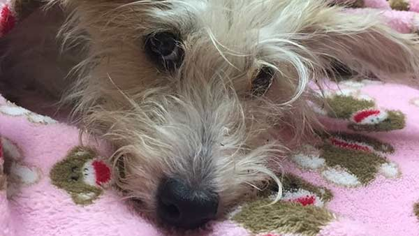 Dog On Mend After Allegedly Being Thrown Out Garfield Park Window During Fight Abc7 Chicago