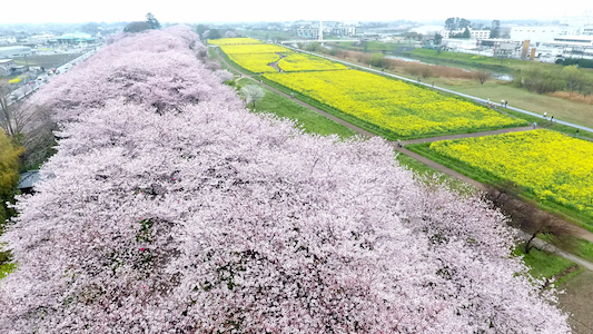 <div class='meta'><div class='origin-logo' data-origin='Creative Content'></div><span class='caption-text' data-credit='The Asahi Shimbun via Getty'>People enjoy fully bloomed cherry blossoms and rapeseeds at Gongendo Tsutsumi on April 8, 2017 in Satte, Saitama, Japan.</span></div>