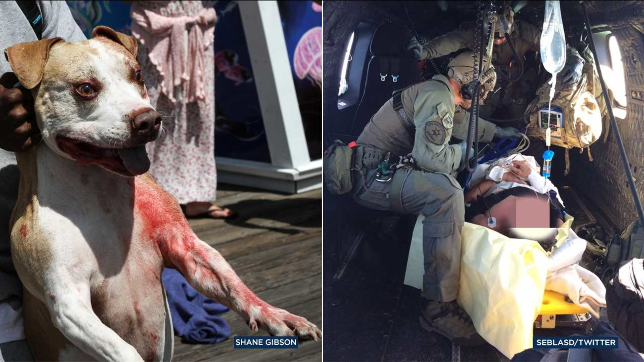 (Left) A bystander holds one of two dogs that attacked a man and his dog along a pier on Catalina Island. (Right) A man is taken by air to a hospital after being bitten by dogs.