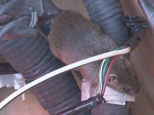 I-Team: Do organic car parts lead to more rat damage? | abc7news com