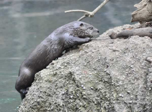 "<div class=""meta image-caption""><div class=""origin-logo origin-image none""><span>none</span></div><span class=""caption-text"">Three new river otters are seen in their exhibit at the Oakland Zoo in this photo released on Tuesday, May 9, 2017. (Photos by Oakland Zoo)</span></div>"