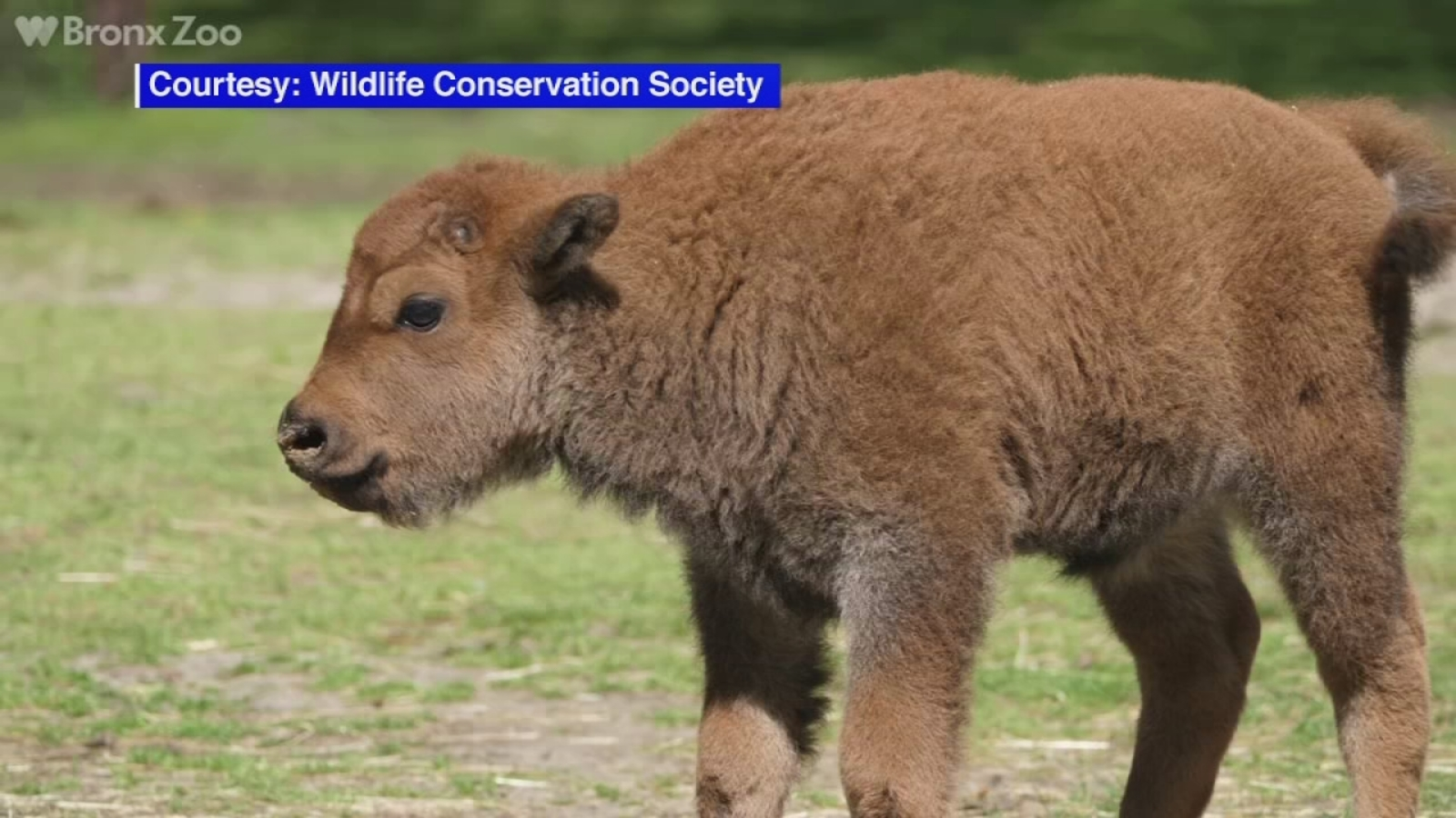 6 Bison Calves Born At Bronx Zoo 4 On Display Abc7ny Com