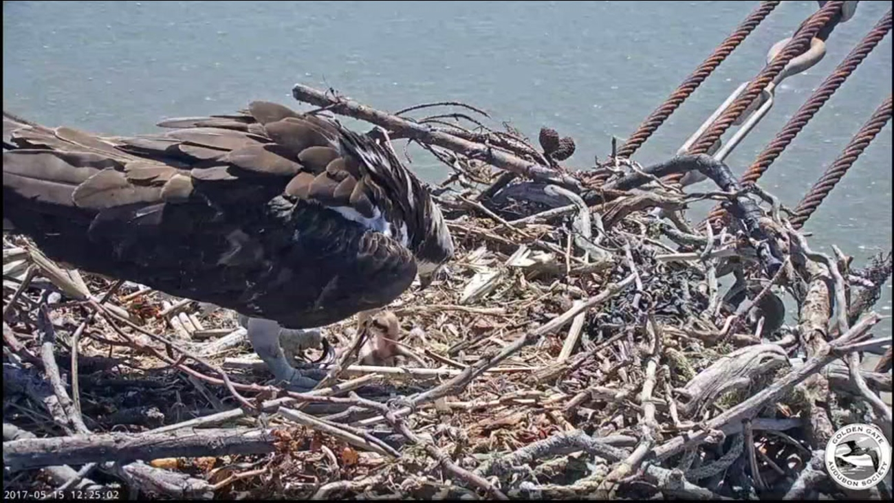 A second osprey chick hatched on Sunday at the Rosie the Riveter National Park in Richmond, Calif. It's seen on a live camera on Monday, May 15, 2017.
