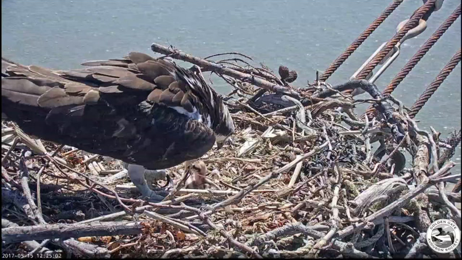 Audubon Society launches contest to name osprey chicks in