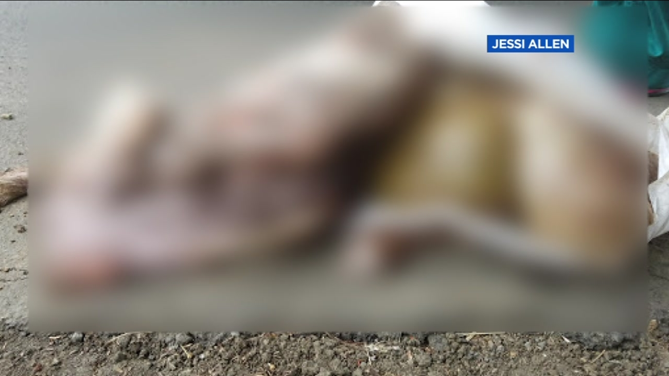 This is an undated image of a mutilated goat a woman says she found in Vallejo, Calif.