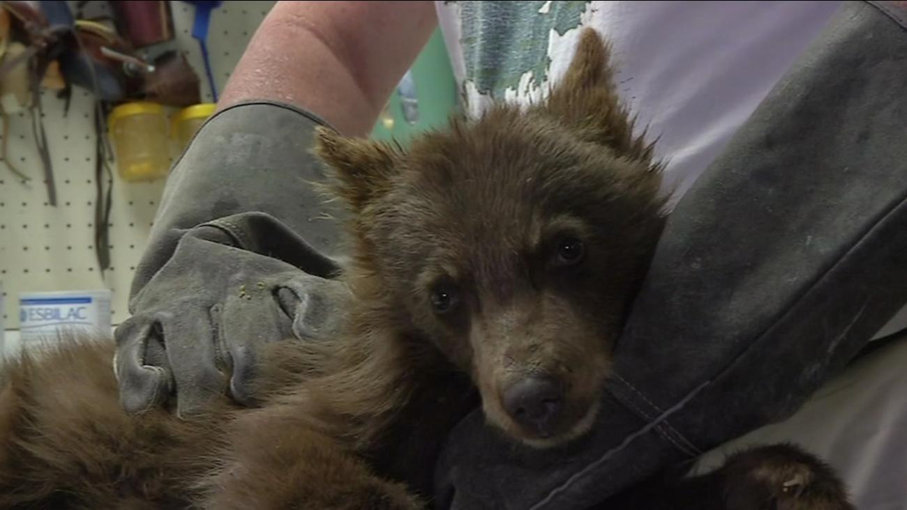 Bear at the Lake Tahoe Wildlife Care center