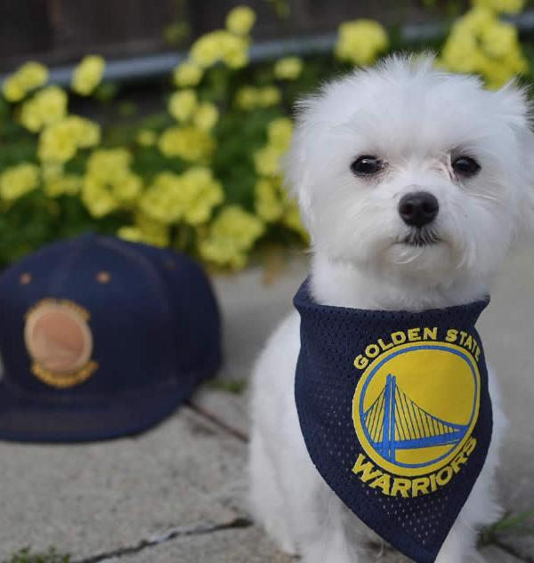 "<div class=""meta image-caption""><div class=""origin-logo origin-image none""><span>none</span></div><span class=""caption-text"">A dog shows off Warriors pride on Wednesday, May 17, 2017. (Photo submitted to KGO-TV by @cuddly_chase/Instagram)</span></div>"