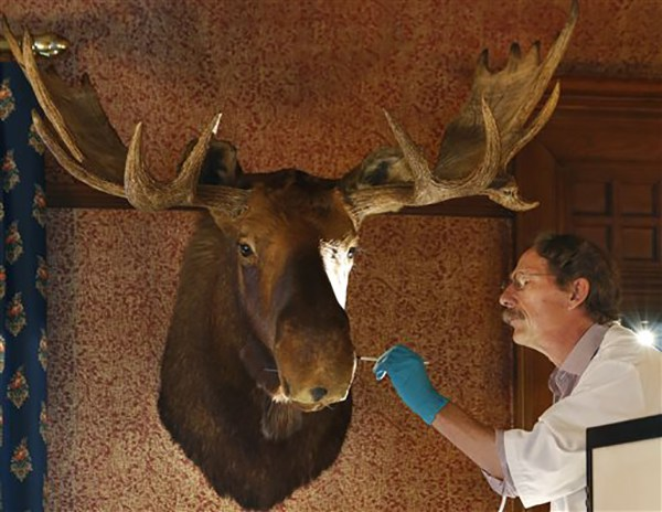 """<div class=""""meta image-caption""""><div class=""""origin-logo origin-image ap""""><span>AP</span></div><span class=""""caption-text"""">Conservator Ronald Harvey of Lincolnville, Me., works on a moose head shot by President Theodore Roosevelt, an avid hunter, in his formal dining room at Sagamore Hill (AP Photo/Kathy Willens)</span></div>"""
