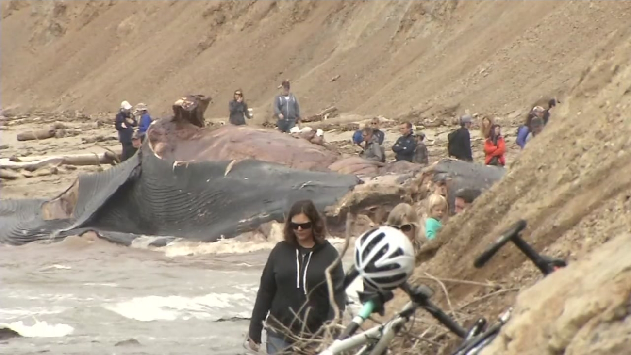 A blue whale is seen on a beach in Bolinas, Calif. on Saturday, May 27, 2017.