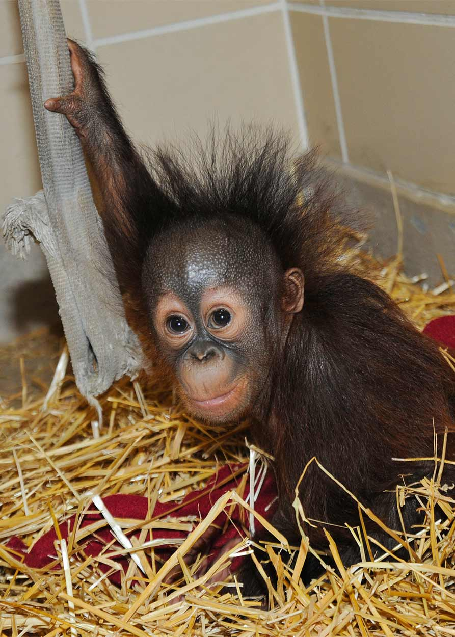 "<div class=""meta image-caption""><div class=""origin-logo origin-image ""><span></span></div><span class=""caption-text"">Kecil, a 6-month-old orangutan whose mother couldn't care for him at Toledo Zoo, has found a family at the Brookfield Zoo. (Jim Schulz/Chicago Zoological Society)</span></div>"