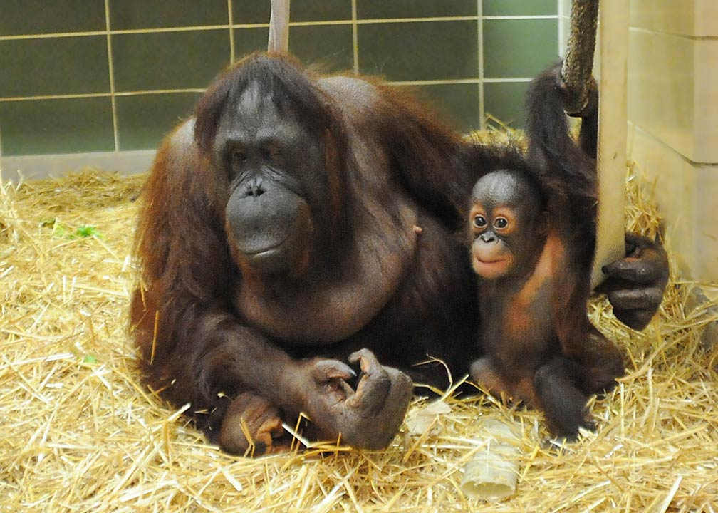 "<div class=""meta image-caption""><div class=""origin-logo origin-image ""><span></span></div><span class=""caption-text"">Maggie, 53, was introduced to the baby as his surrogate mother. (Jim Schulz/Chicago Zoological Society)</span></div>"