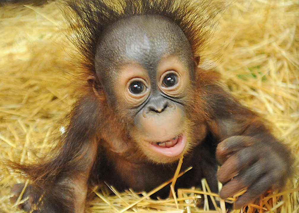 "<div class=""meta image-caption""><div class=""origin-logo origin-image ""><span></span></div><span class=""caption-text"">Kecil's mother couldn't provide him adequate care at Toledo Zoo, where he was born in January. (Jim Schulz/Chicago Zoological Society)</span></div>"