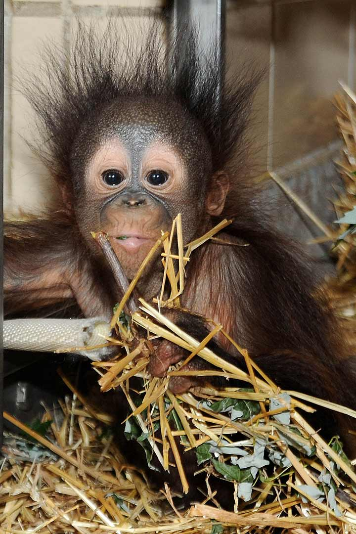 "<div class=""meta image-caption""><div class=""origin-logo origin-image ""><span></span></div><span class=""caption-text"">Once baby Kecil is more agile and mobile,he and Maggie will both move into the exhibit Tropic World Asia. (Jim Schulz/Chicago Zoological Society)</span></div>"