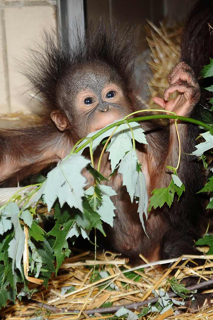 "<div class=""meta image-caption""><div class=""origin-logo origin-image ""><span></span></div><span class=""caption-text"">Orangutans once lived over much of Southeast Asia, but their numbers are dwindling as their homes in the rain-forest islands of Sumatra and Bornea are logged. (Jim Schulz/Chicago Zoological Society)</span></div>"