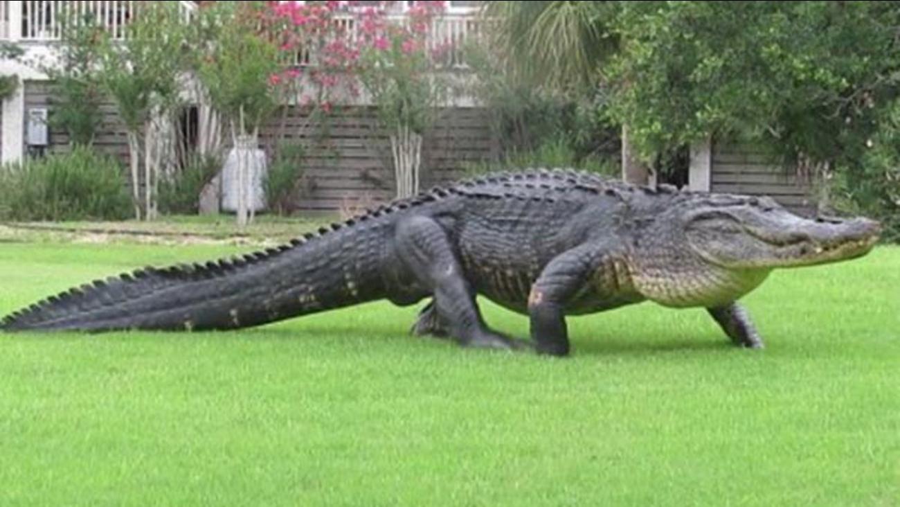 Massive Alligator Spotted On South Carolina Golf Course Abc7 Chicago
