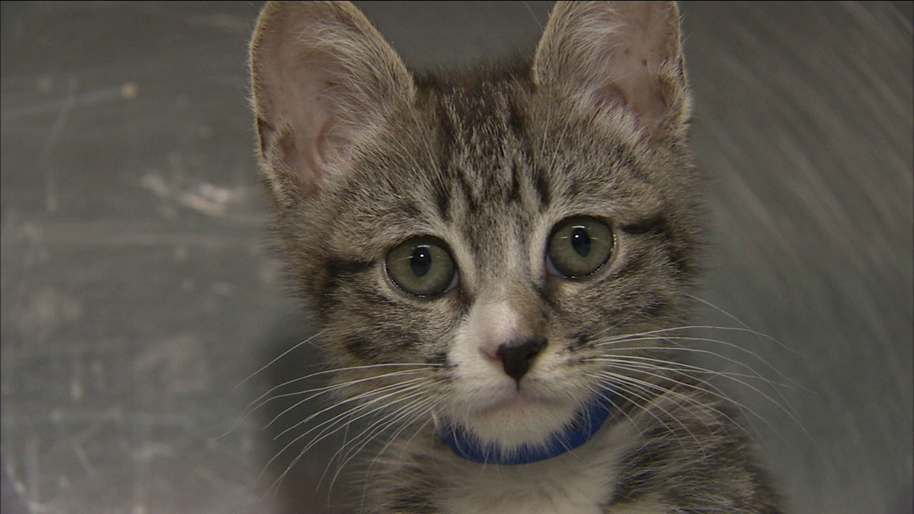 Edgar, an 8-week-old kitten in a Pasadena shelter, needs expensive surgery for a congenital heart defect to save his life.