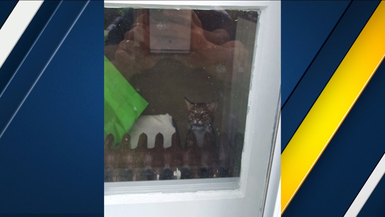 In this June 7, 2017 photo, a police officer takes a photo of a bobcat that got into a family's home in Washington Township, N.J.