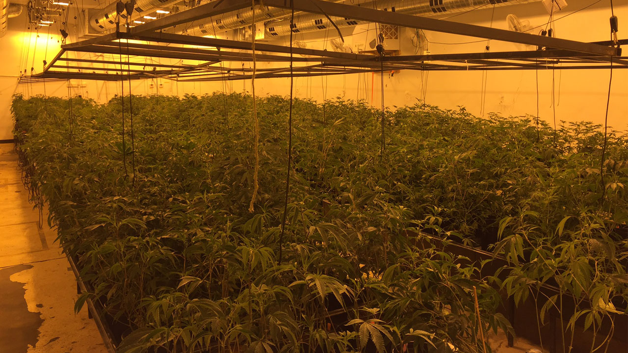 An image provided by Upland police shows hundreds of marijuana plants inside a warehouse.