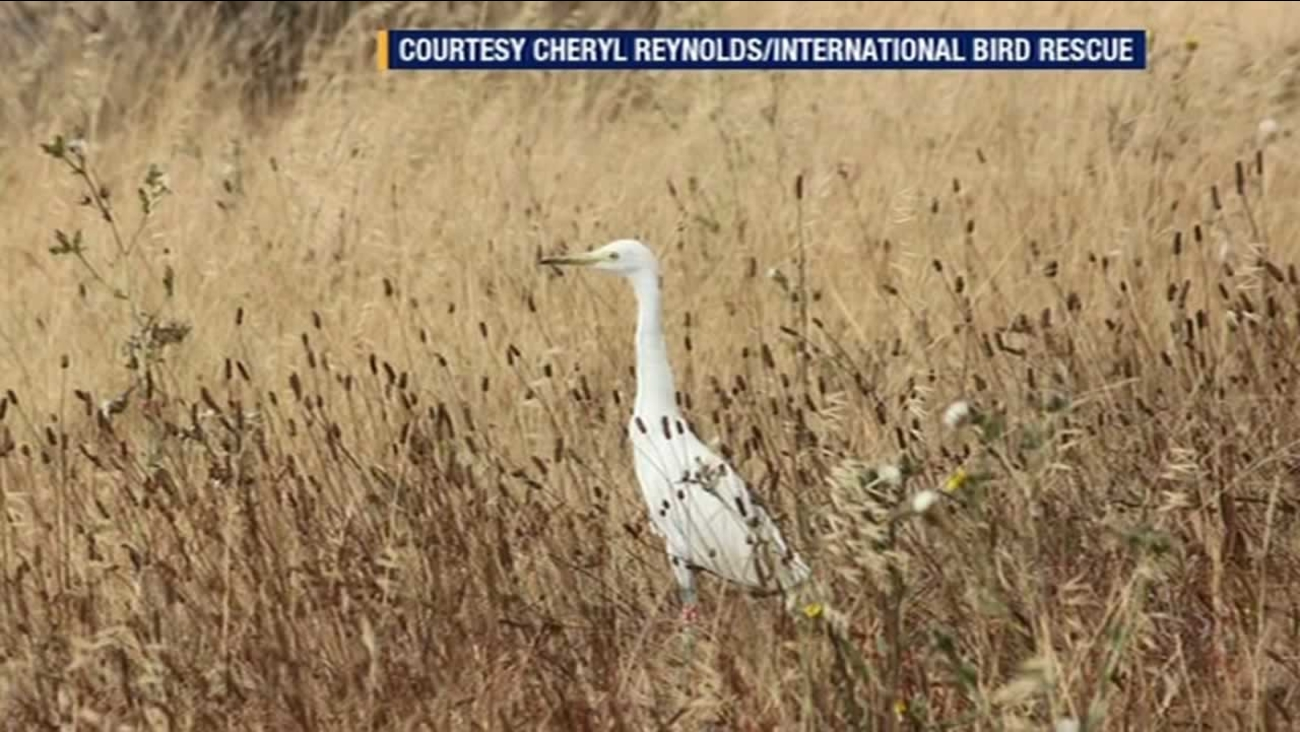 One of the rescued birds that was released along the North Richmond Shoreline.