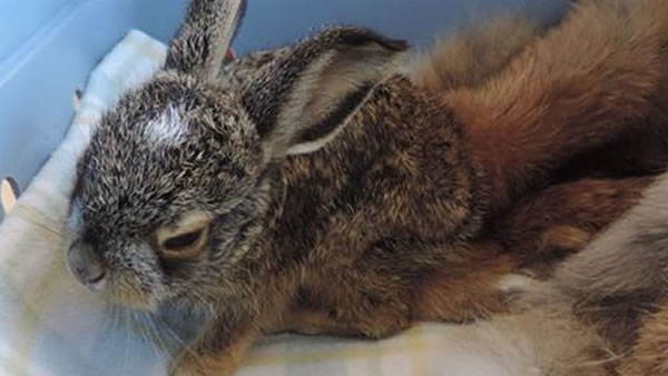 This black-tailed Jackrabbit was picked up by the Sonoma County Wildlife Rescue, the organization reported on Wednesday, July 12, 2017.