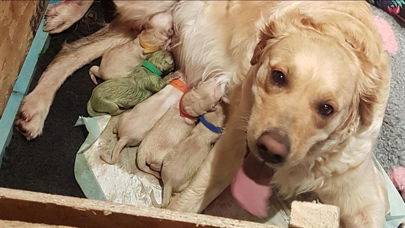 Golden Retriever gives birth to rare green puppy | abc7news com