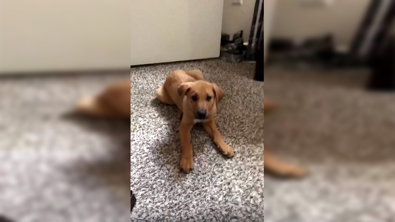 """Brownie has gone viral after saying """"thank you"""" to his owner"""