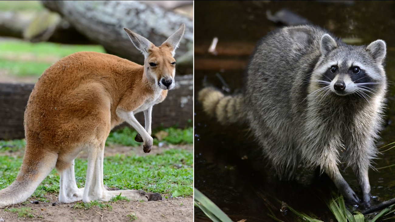A young red kangaroo and a raccoon are seen in these undated images.