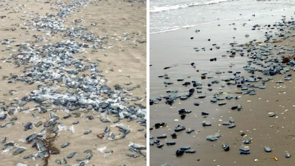 Thousands of blue, jellyfish-like creatures have washed ashore in at least two places along the Bay Area shoreline.