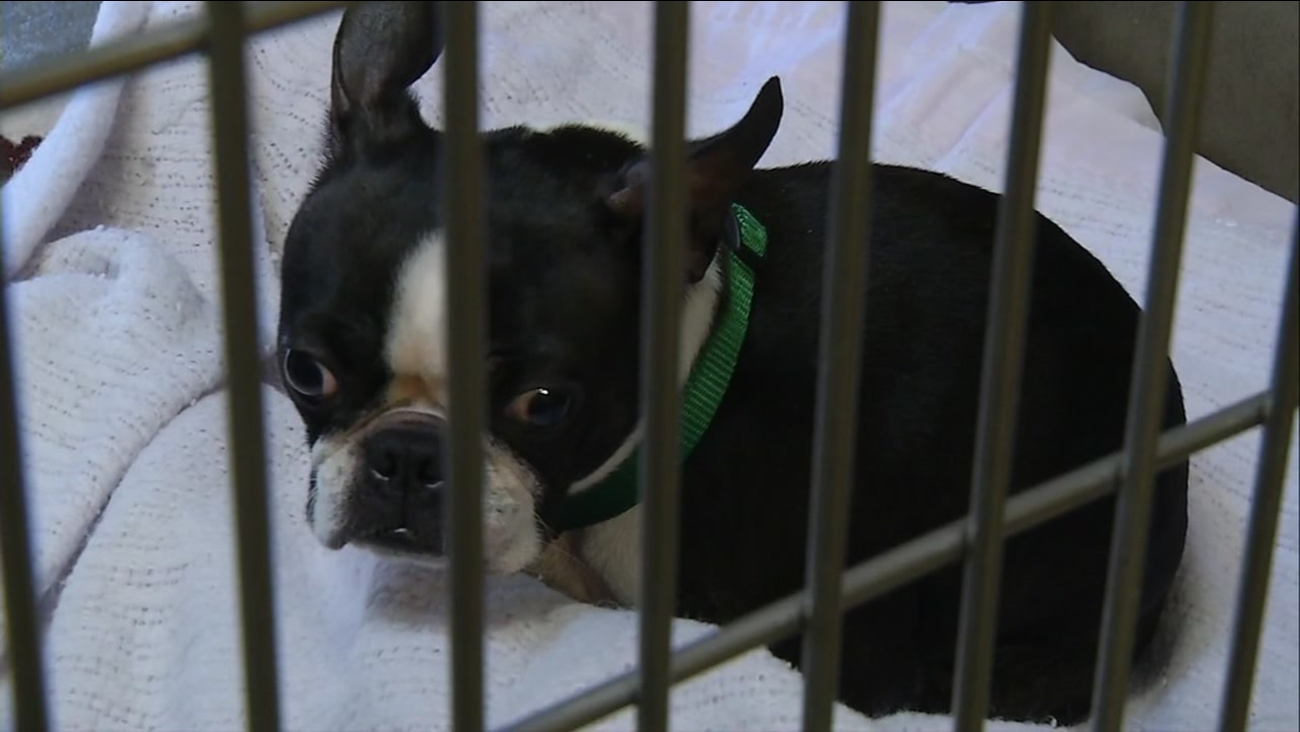 This is an undated image of a dog rescued from an apparent puppy mill in Scotts Valley, Calif.