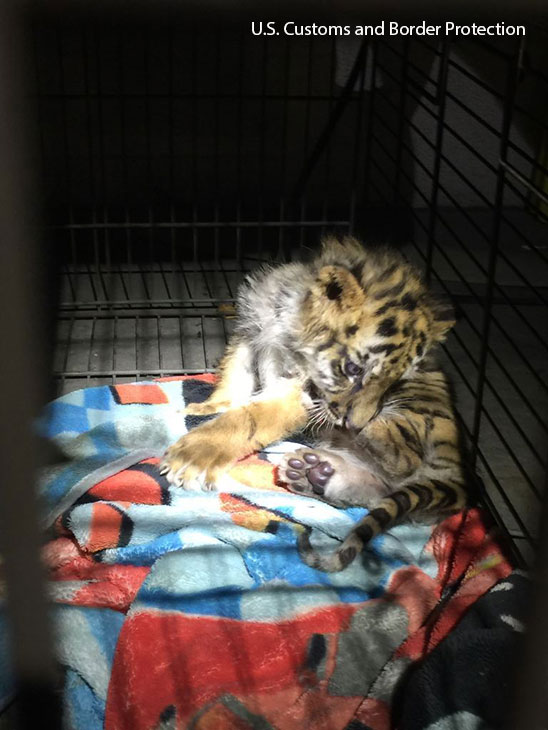 <div class='meta'><div class='origin-logo' data-origin='KABC'></div><span class='caption-text' data-credit=''>A Bengal tiger cub bought by an 18-year-old Perris teen on the streets of Tijuana.</span></div>