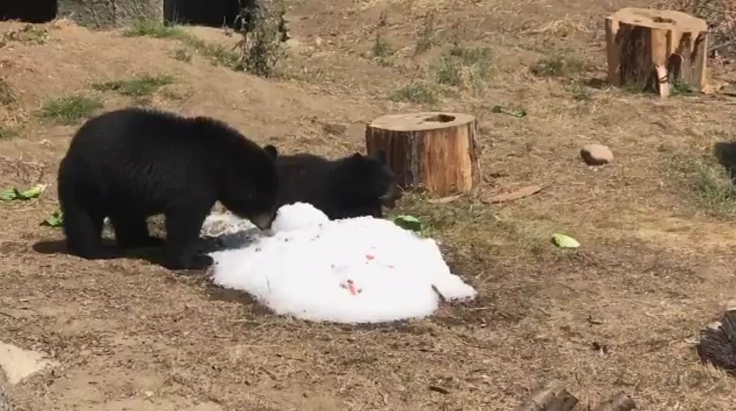 "<div class=""meta image-caption""><div class=""origin-logo origin-image none""><span>none</span></div><span class=""caption-text"">Black bears are seen cooling off in man-made snow at the San Francisco Zoo on Friday, September 1, 2017. (@BloomTV/Twitter)</span></div>"