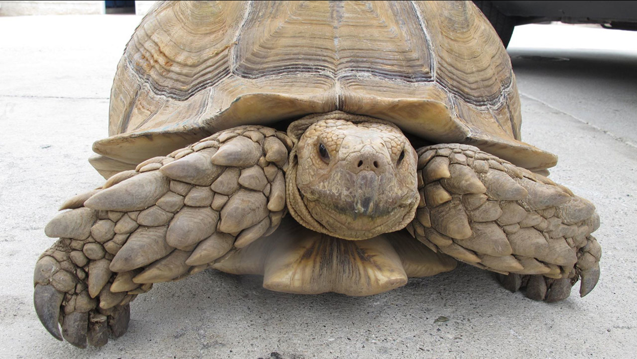 A 150-pound tortoise found in Alhambra on Saturday, Aug. 2, 2014 is shown.