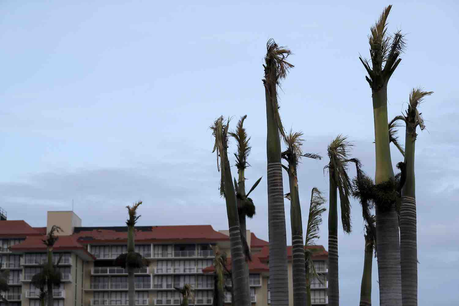 "<div class=""meta image-caption""><div class=""origin-logo origin-image kgo""><span>kgo</span></div><span class=""caption-text"">Palm trees stand ripped of their fronds in the aftermath of Hurricane Irma in Marco Island, Fla., Monday, Sept. 11, 2017 (AP Photo/David Goldman)</span></div>"