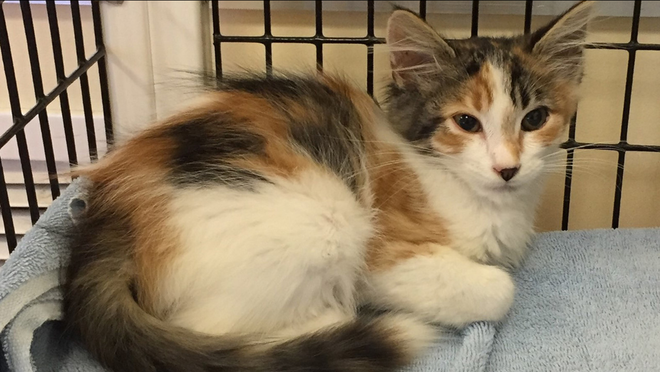 FILE -- Prudence the cat available for adoption in Menlo Park, California.