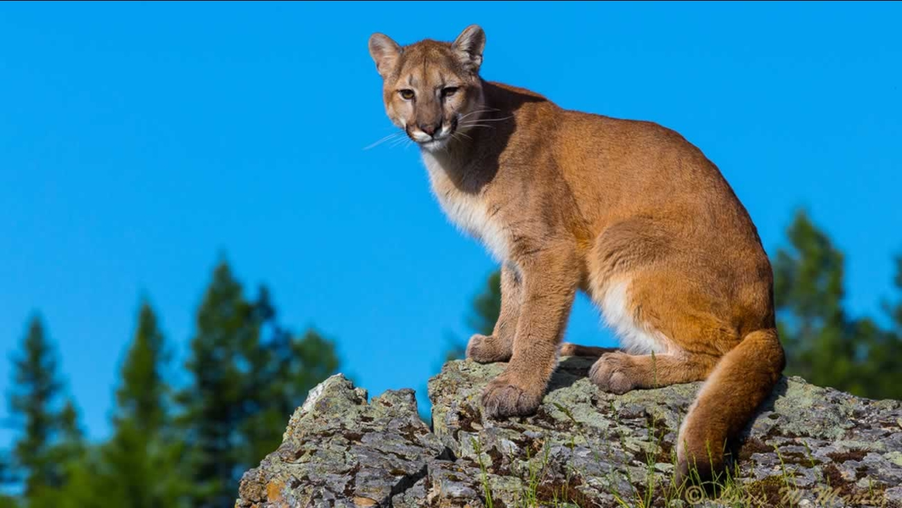 This file photo shows a mountain lion.