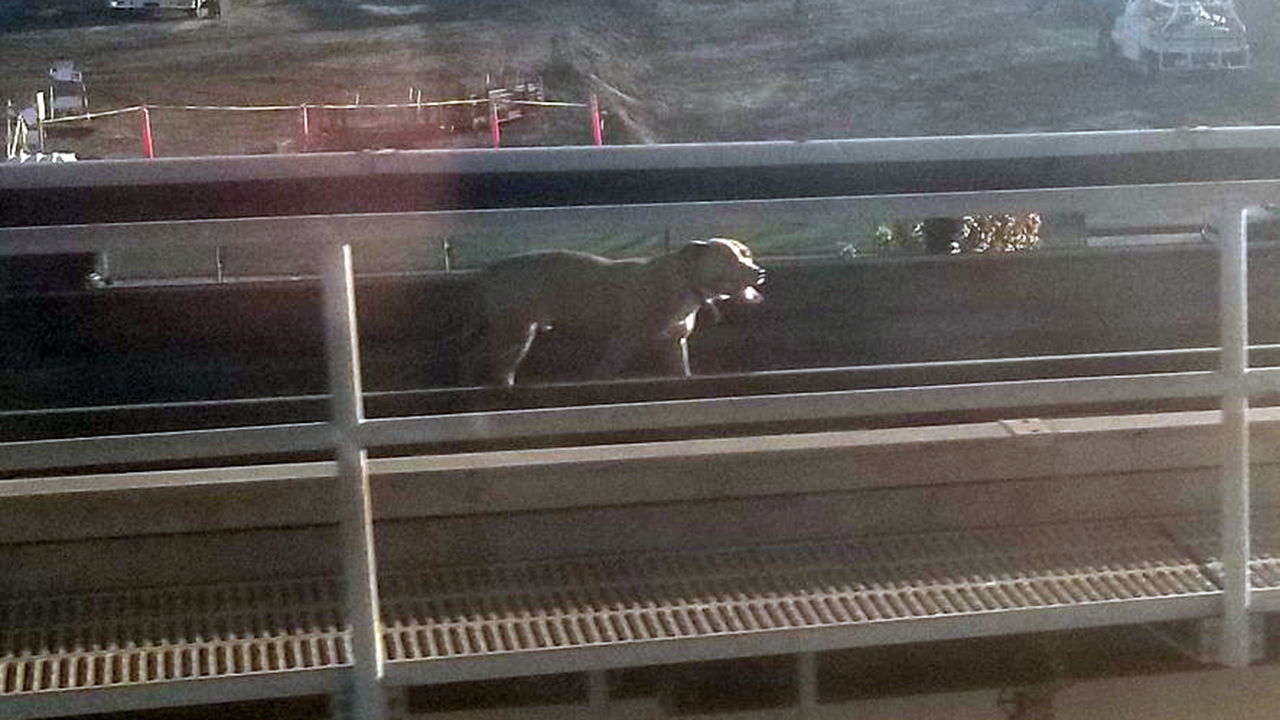 Dog on BART tracks in Oakland, Calif. on Wednesday, September 27, 2017.